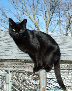 Black cats are black because of melanin too. This beautiful creature has been maligned for centuries because of the melanin content of its fur.