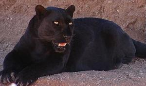 Melanin panther. The mere image of this creature radiates a sense of power.